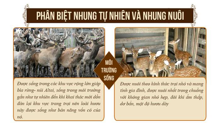 Nhung hươu tươi hoang dã săn bắn loại 1 lạng NH009 4